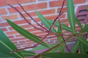 Oleander Zurückschneiden Video : alte bl tenst nde beim oleander mein sch ner garten forum ~ Lizthompson.info Haus und Dekorationen