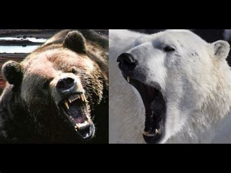 bear fight polar  gizzly youtube
