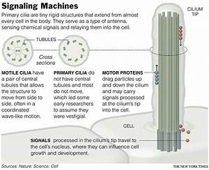 Cilia  An Antenna And Motor On Cells