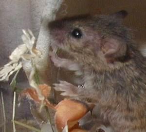 Mäuse Bekämpfen Haus : k der f r m use ungeziefer im haus ~ Michelbontemps.com Haus und Dekorationen