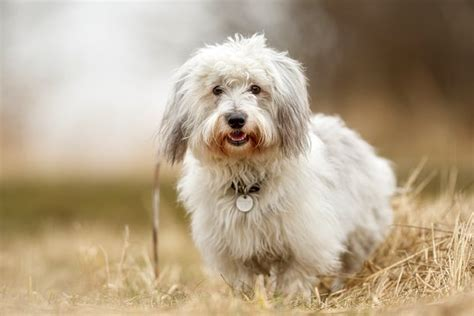 dogs  dont shed  beautiful  shedding breeds