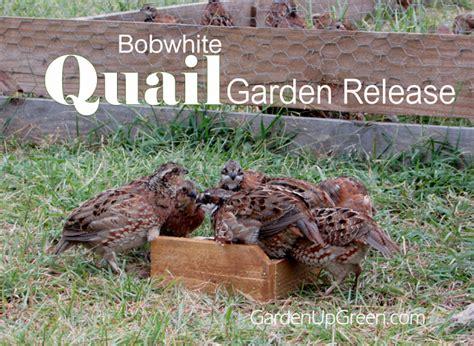 Quail Garden by Bobwhite Quail Garden Release Modern Homesteading