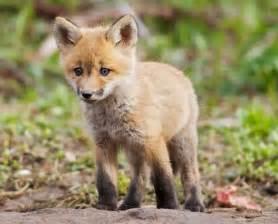 Cute Baby Fox as Pet
