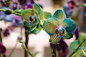 Schöne Orchideen Bilder : blaue orchideen so k nnen sie orchideen selbst blau f rben ~ Orissabook.com Haus und Dekorationen