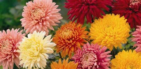 fakta menarik tentang bunga krisan toko bunga