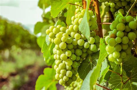 Image Grapes Food Closeup