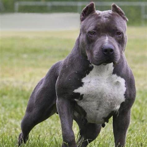 Wie Viel Kostet Dieser Pitbull? (hund, Bilder