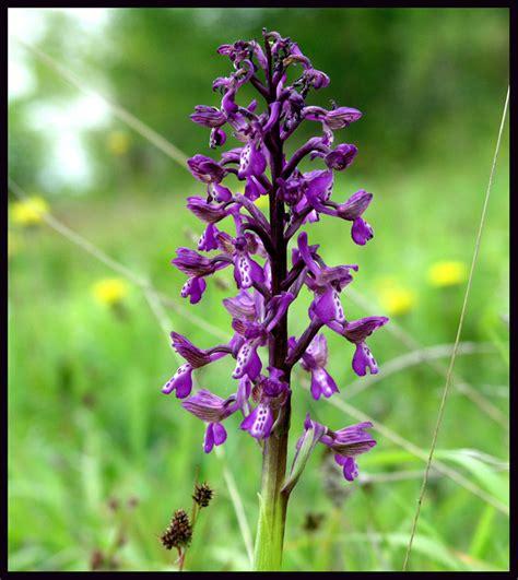 TrekNature | wild orchis morio Photo