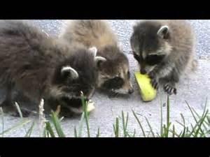 Cute Baby Raccoons