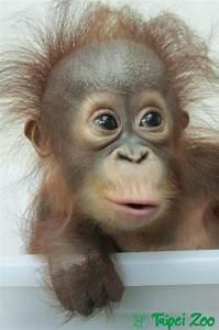 Baby orangutan   Animalitos   Pinterest   Einstein, What ...