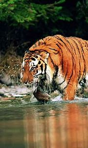 Download Free Bengal Tiger Wallpaper | PixelsTalk.Net