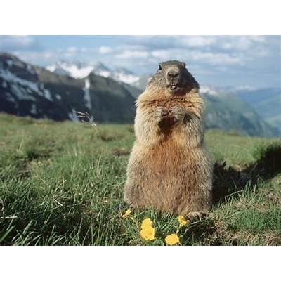 Marmots and Their Orchestral RationaleSemantic Marmot