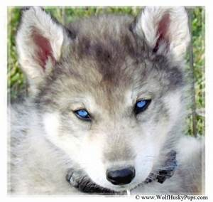 2017 Small Siberian Husky Wolf Mix Puppies For Sale Size ...