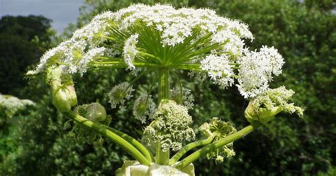 giant hogweed  facts      toxic plant
