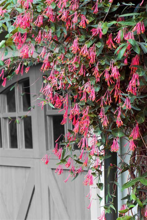 best flowering vines 10 fast growing flowering vines best wall climbing vines to plant climbing flowering vines