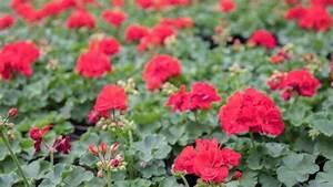 Hortensien überwintern Im Keller : geranien beliebte balkonpflanzen richtig pflegen und ~ Lizthompson.info Haus und Dekorationen