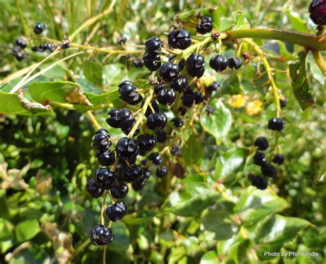 small tree with berries tutu plant identification google search natural health properties pinterest tutu plant