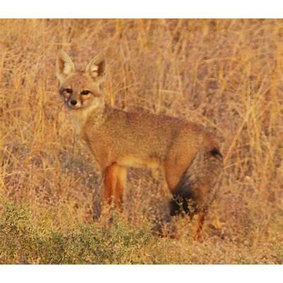 Bengal fox - Wikipedia