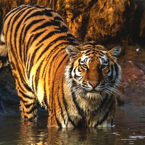 wallpaper tiger big cat hd animals
