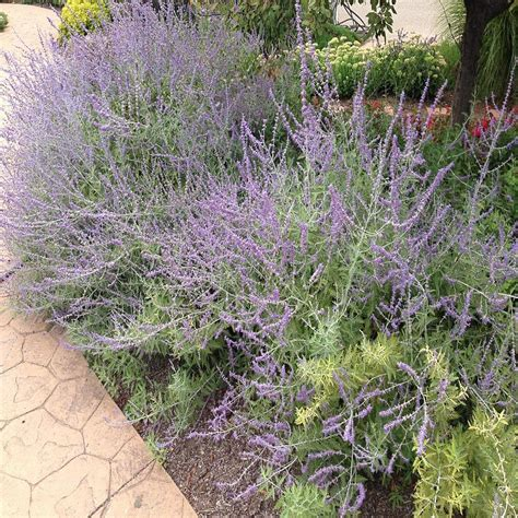 russian plant onlineplantcenter 1 gal russian sage plant r003cl the home depot