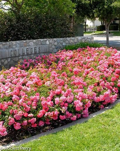 Carpet Floral Rose Rosa Pink Plants Garden