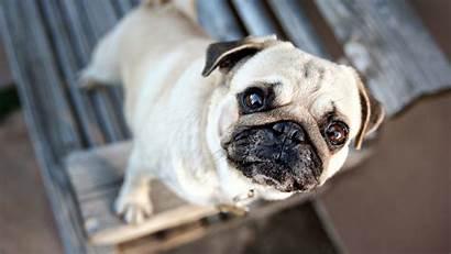 Dog Pets Pug Wallpapers Pet 1080 Desktop