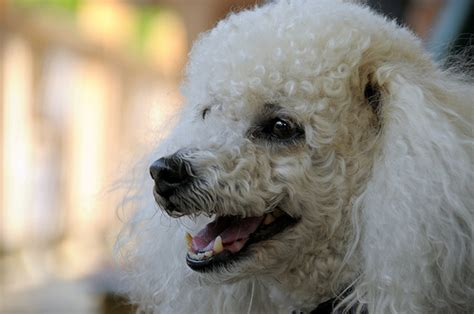 poodle cost howmuchisitorg