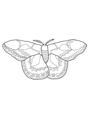 rothschilds silk moth coloring page  printable