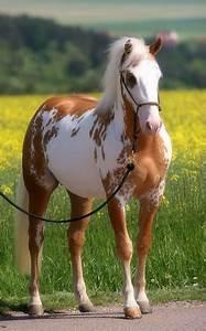 palomino overo paint horse | Horses | Pinterest | Paint ...