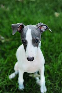 17 Best images about My Love For Italian Greyhounds on ...