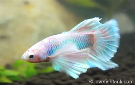 how do beta fish live how long do betta fish live for and how to extend betta lifespan