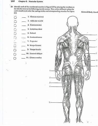Anatomy Coloring Muscles Physiology Human Answers Workbook