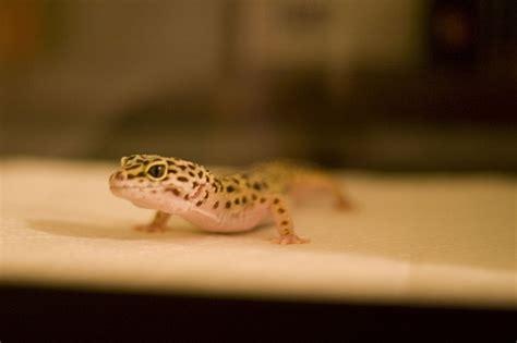 leopardgecko leopardgeckoland com
