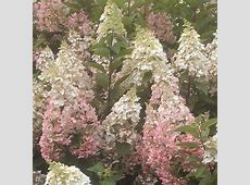 Hydrangea paniculata Plant Candlelight® Trees and