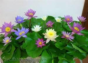 Hoa Súng - cách trồng và công dụng chữa bệnh
