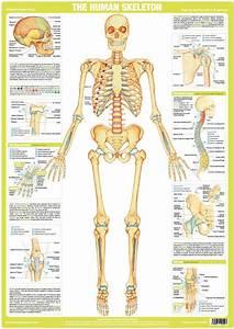 Human Skeleton Chart