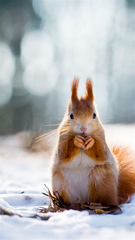 wallpaper squirrel cute animals snow winter