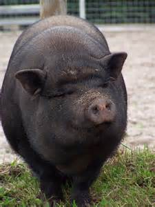 Happy Animal Pig