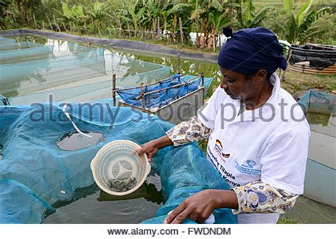 tilapia fish breeding  pond stock photo  alamy