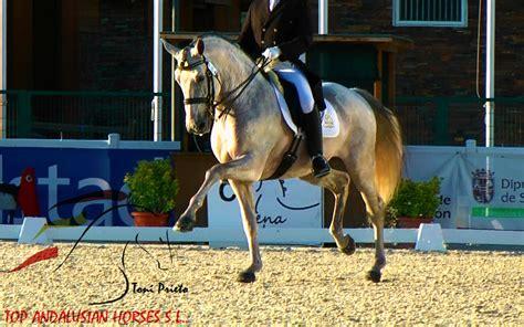 dressage horses horse andalusian famous sport lusitano stallion pure