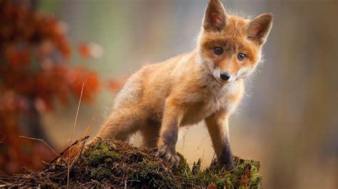 Hd Wallpapers Animals 1366x768 - 1366x768 fox cub baby animal hd 1366x768 resolution