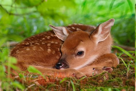 deer nature animals fawns baby animals wallpapers hd