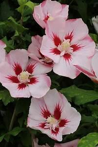 Gefrierschrank Höhe 80 Cm : bcm hibiscus hamabo h he 80 cm 1 pflanze otto ~ Markanthonyermac.com Haus und Dekorationen