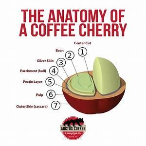 The Anatomy Of A Coffee Cherry  U2013 Arctos Coffee  U0026 Roasting