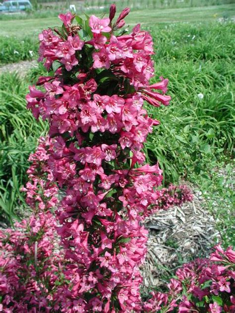weigela shrubs weigela florida java red shrub