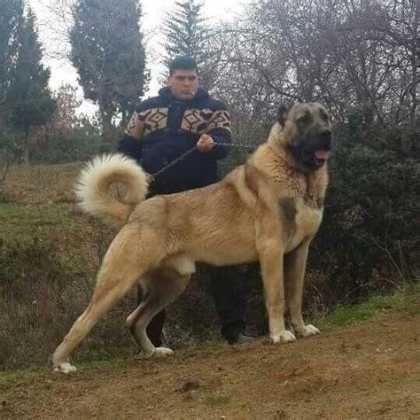 kangal kangal dog giant dogs dog breeds