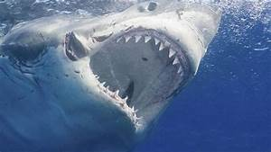 Multiple sightings of 'hungry' great white sharks in ...