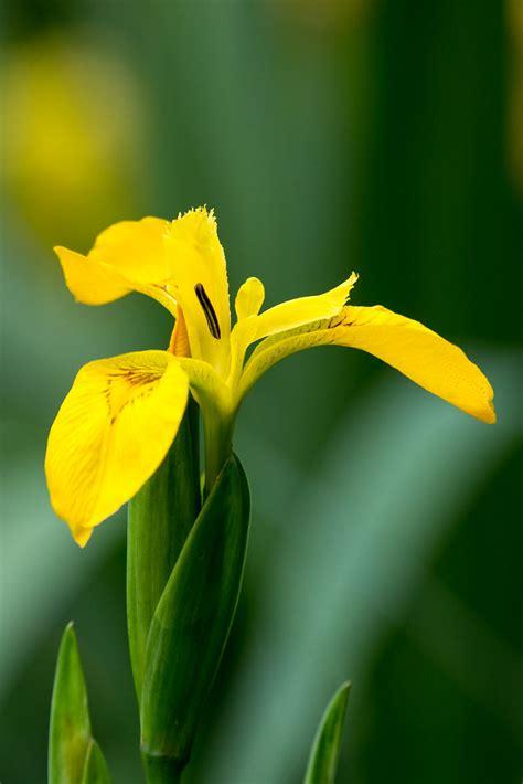 Yellow Iris | Iris pseudacorus L. AKA Yellow Flag Iris. Up ...