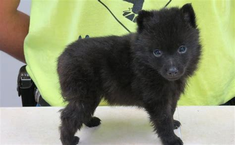 64 Best Images About Daisy Mae ------schipperke On
