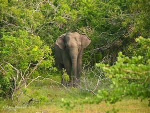 Habitat - Asian Elephants